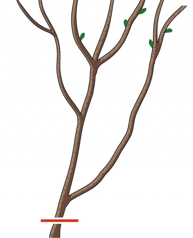 1. Gli steli più vecchi, quelli di più di tre anni, devono essere tagliati alla base per rinvigorire il cespuglio. Questi rami si riconoscono dal colore scuro quasi nero e dalla corteccia rugosa e squamata.