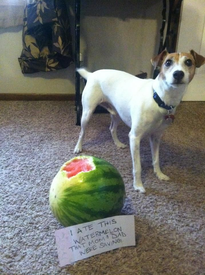 Best ideas about watermelon man watermelon thief and for Is it safe for dogs to eat watermelon