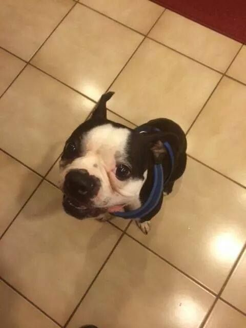Sharing a foster Boston Terrier from Boston Terrier Rescue of East Tennessee- BTRET of Florida Looking for a foster home or adoption