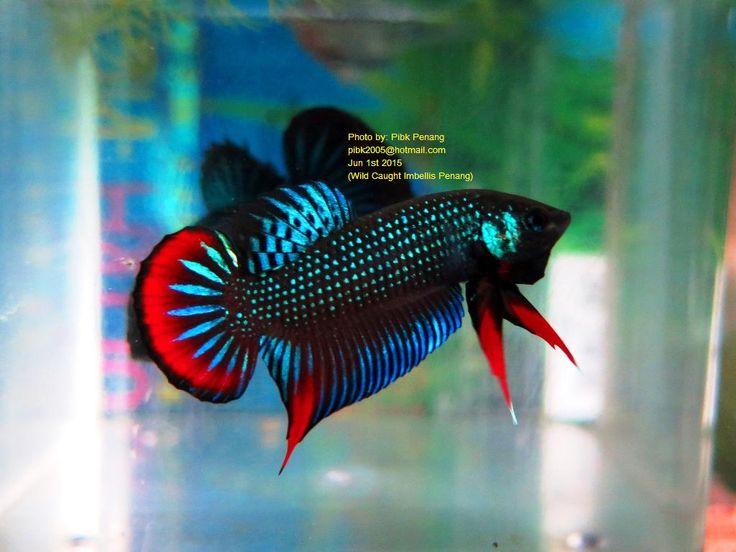 54 best wild bettas images on pinterest for Wild betta fish