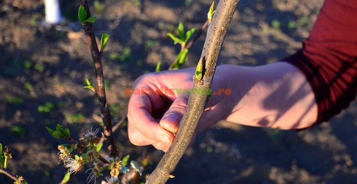 Cum se face și care este rostul plivitului la pomi | Paradis Verde