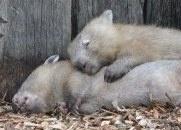 Common Wombat - Vombatus ursinus - Australia Reptile Park