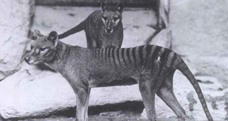 Some Are Saying This Video Shows The Extinct Tasmanian Tiger Alive And Well - http://all-that-is-interesting.com/extinct-tasmanian-tiger-video?utm_source=Pinterest&utm_medium=social&utm_campaign=twitter_snap