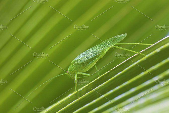 Giant Katydid Grasshopper | Giants, Long legs, Photo
