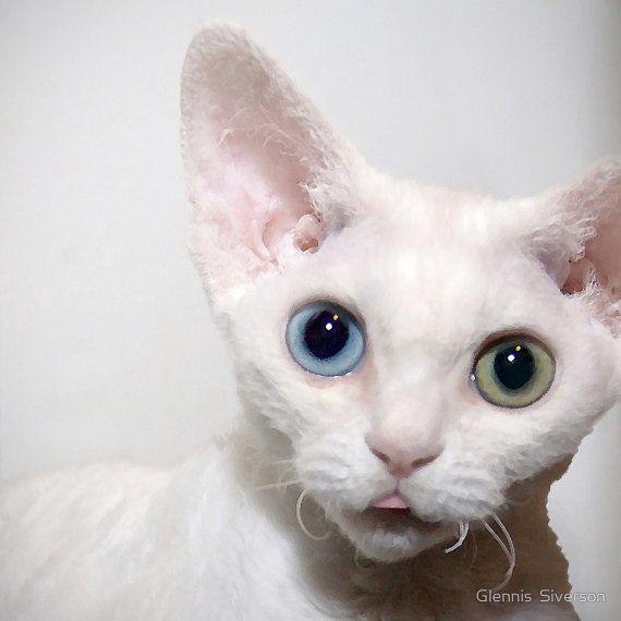 5 x 5 Print Odd Eyed Devon Rex Kitten Pet van glennisphotos op Etsy, $20.00