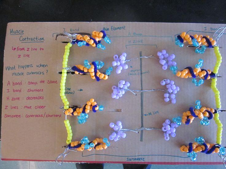 Sliding Filament Theory  Manipulative Model