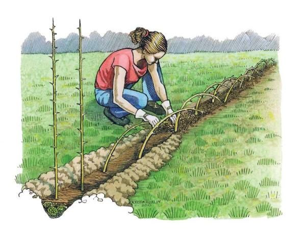 starting a living fence Plant Osage orange in the spring, then lay seedlings over the trench in fall, weaving them together.