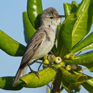 Bokikokiko is a bird endemic to Christmas Island in Kiribati