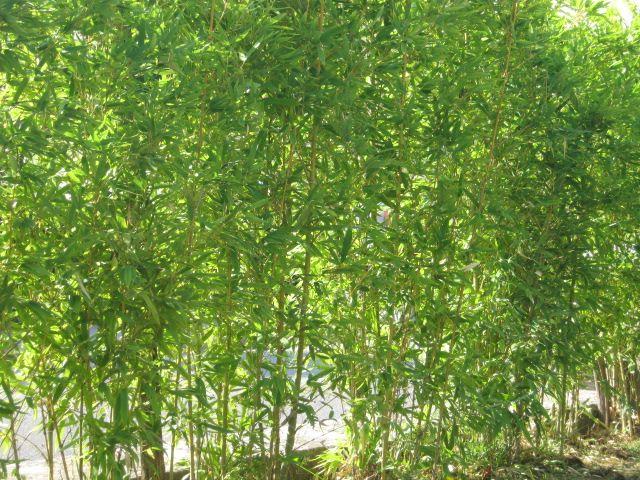 """Il bambù, che fa tanto paesaggio asiatico, però viene usato molto anche da noi come siepe, sia per contesti moderni che più rustici, in quanto cresce spontaneamente lungo borri e torrenti. Per chi ha visto il film """"Io ballo da sola"""", si ricorderà che la piscina è contornata dalla bambusa, che cresce spontanea anche nel …"""