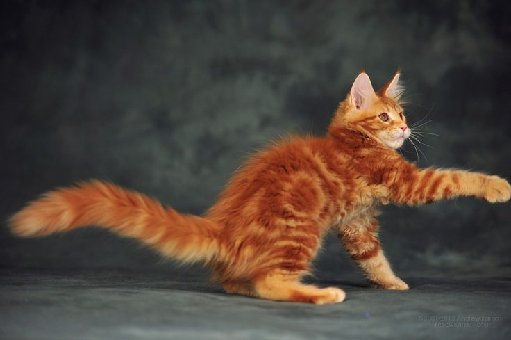 #MaineCoon #Red #Tabby #Blotched #Cats AmbientCat Eclipse, MCO d22