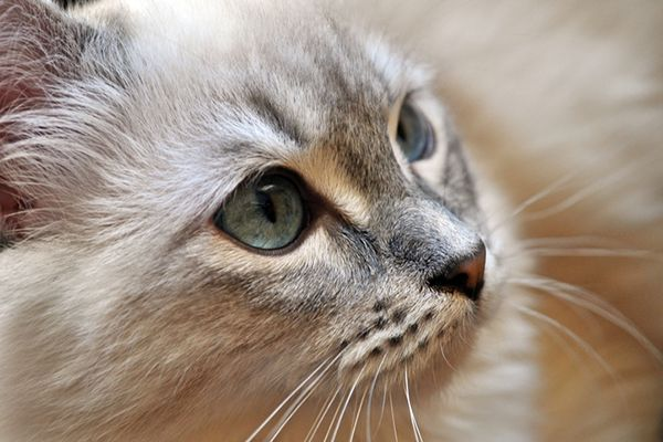 How Long Do Cats Live We Have Facts And Figures On The Average Cat Lifespan For Indoor As Well As Outdoor Cats Cat Years Cat Lifespan Cat Years Chart