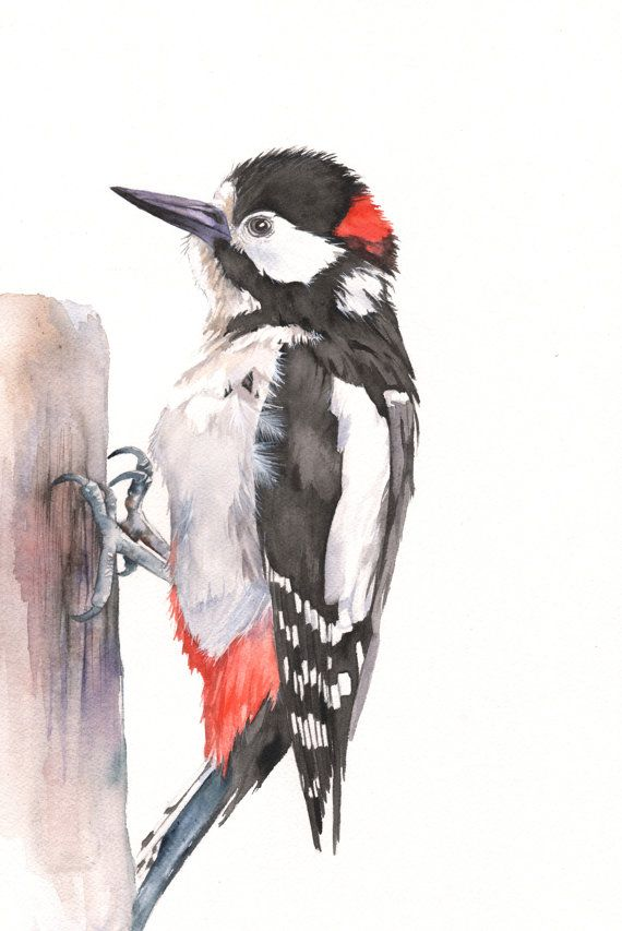 Woodpecker watercolour print A4 size WP5515 Woodpecker print - woodpecker painting - Uk woodpecker painting - great spotted woodpecker