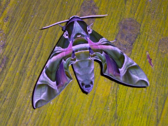 Daphnis nerii, a large hawk-moth found in wide areas of Africa and Asia. It is a migratory species, flying to parts of eastern and southern Europe during the summer. The Daphnis nerii (Oleander Sphinx Moth or Orleander Hawk-Moth) is one of the most beautiful butterfly-like patterned moths on Earth