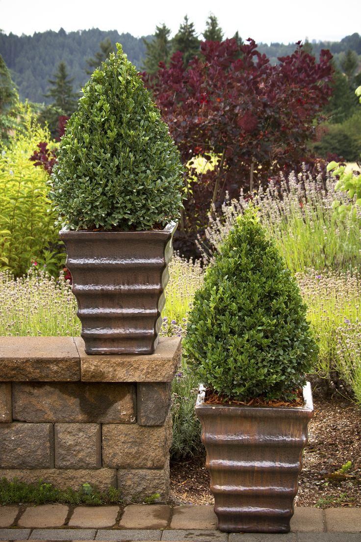Green Mountain Boxwood - Best for winter- front of house x 3