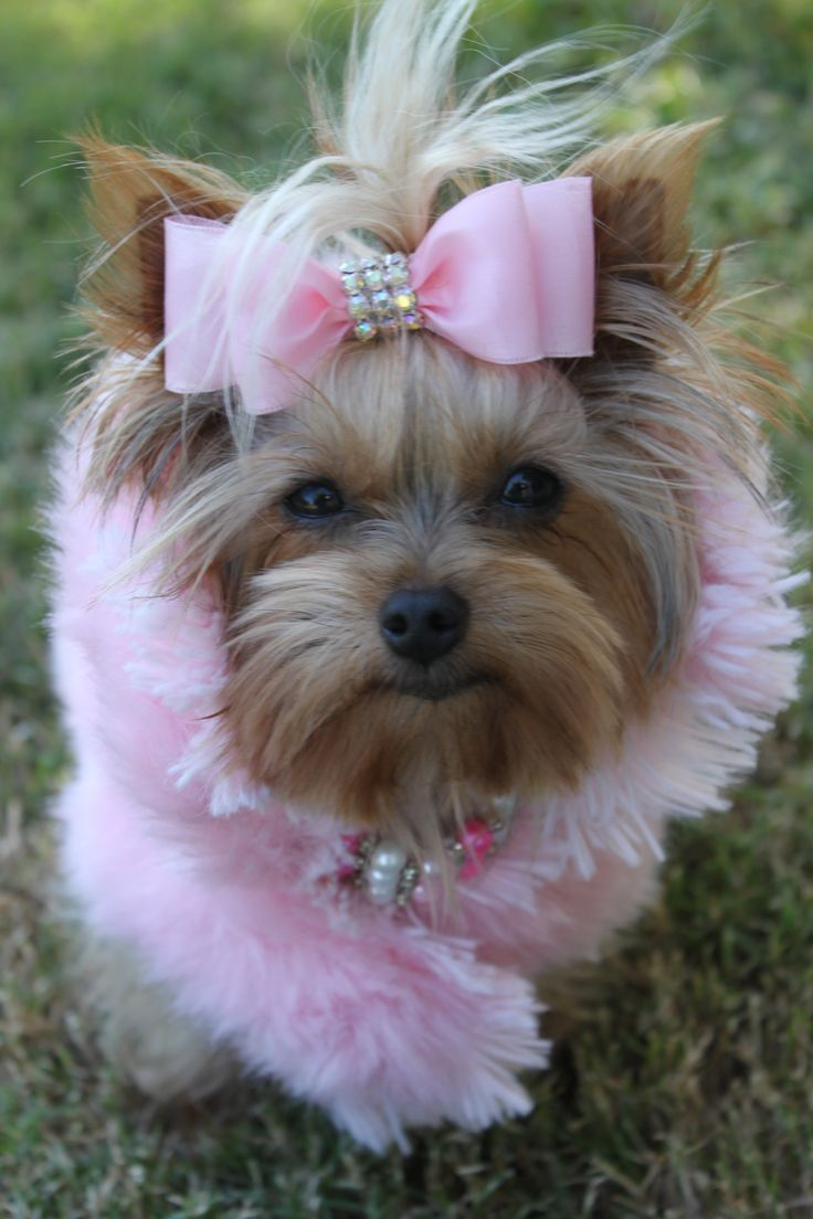 """""""I think he may ask me tonight?"""" #dogs #pets #YorkshireTerriers Facebook.com/sodoggonefunny So cute!"""