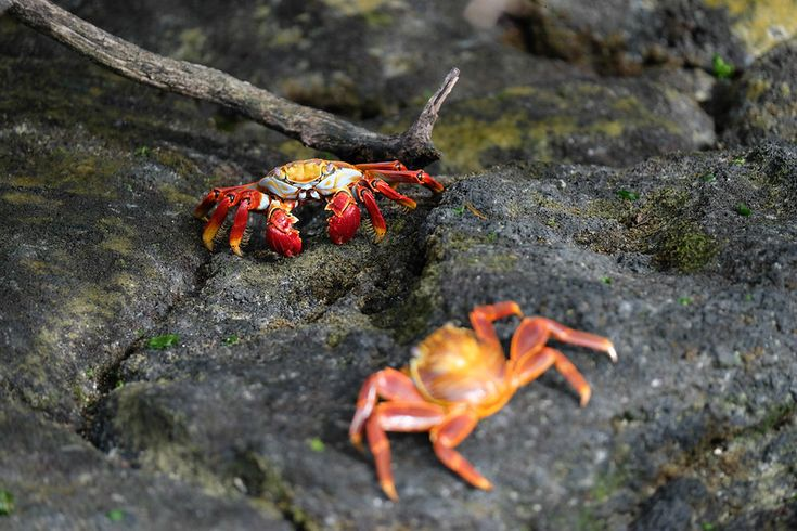 Colorful crabs on volcanic rocks