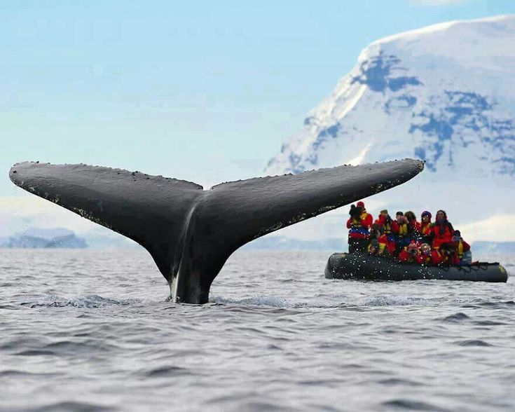 Bucket list No 2 Go on a whale safari and see hump back whales. Norway