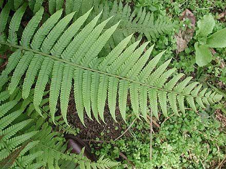 Binung -  Christella dentata  Lush colonising fern for deep moist soils; prefers some shade