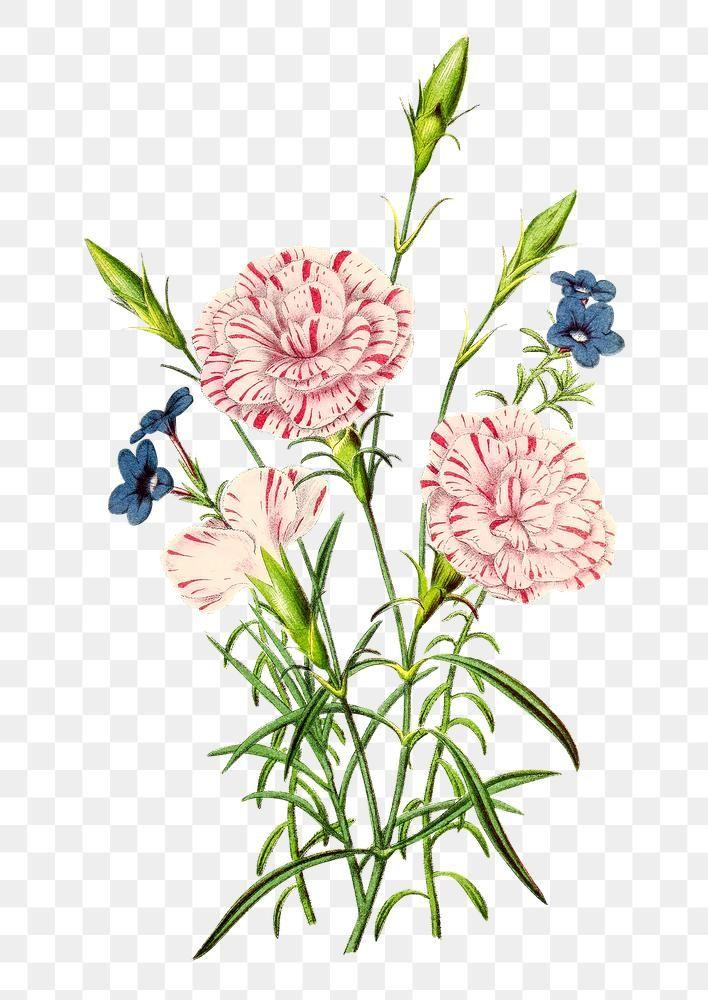 Vintage Carnation Flower Design Element Free Image By Rawpixel Com In 2020 Carnation Flower Design Element Flower Designs