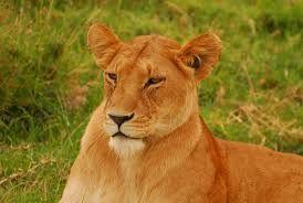 In de woonkamer hebben we 3 foto's van zulke mooie leeuwinnen staan, die zich in een savannegebied bevinden.
