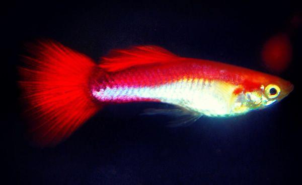 Cherry Platinum Guppies (Pair): Aquarium Fish: Discus Fish, Freshwater Fish and Tropical Aquarium Fish For Sale