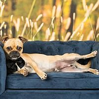 Pictures of Bruiser a Pug for adoption in Fort Atkinson, WI who needs a loving home.