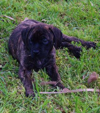 Litter of 5 Mastiff puppies for sale in FORNEY, TX. ADN-26432 on PuppyFinder.com Gender: Female. Age: 8 Weeks Old