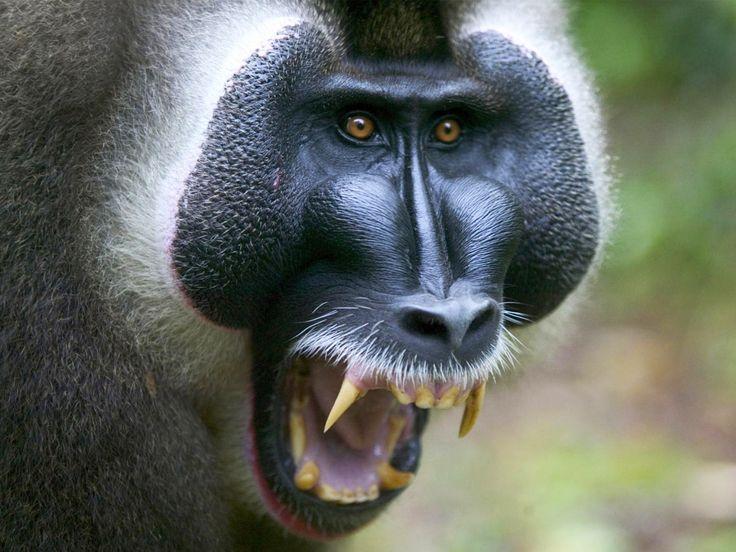 Male vervet monkey (Chlorocebus pygerythrus) eating a piece of ...