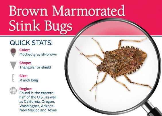 Stink Bugs - Common pests in Florida that you can smell coming!