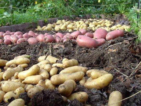 Video: Kartoffeln anbauen – Große Ernte auf kleinem Platz