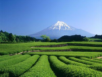 Mt. Fuji and Tea Garden, Fuji City, Shizuoka, Japan