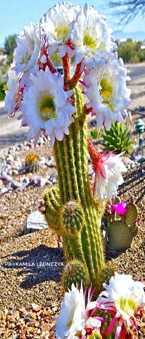 White Torch Cactus  Echinopsis spachiana