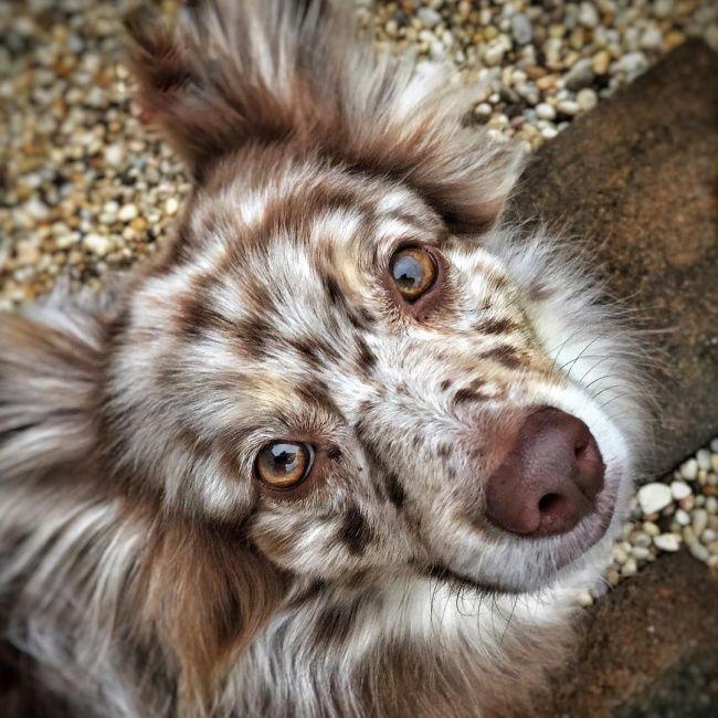 Este cachorrinho deve agradecer o seu encanto a seus pais: um pomeriano (spitz) e um pastor australiano.
