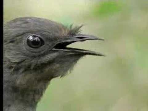 The lyrebird can mimic a camera shutter, a chainsaw, monkeys, and 20 other species of birds it hears in the forest. This is truly spectacular; you should watch the video, about halfway through the video is when it gets good.