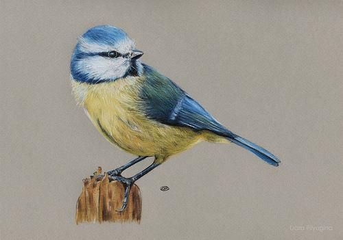 рисунки птиц цветными карандашами: 24 тыс изображений найдено в Яндекс.Картинках