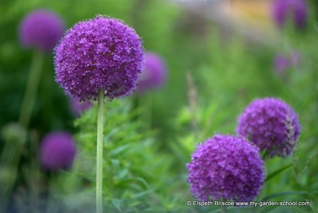 Allium globemaster at Rimes Cottage