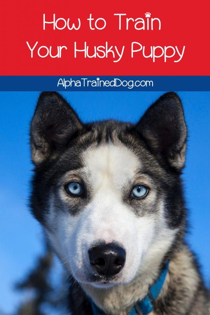 Pin By Anthony Hunter On Husky Dogs Husky Puppy Puppy Training