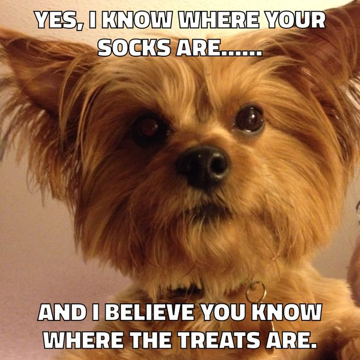 1259 Best Yorkies Images On Pinterest