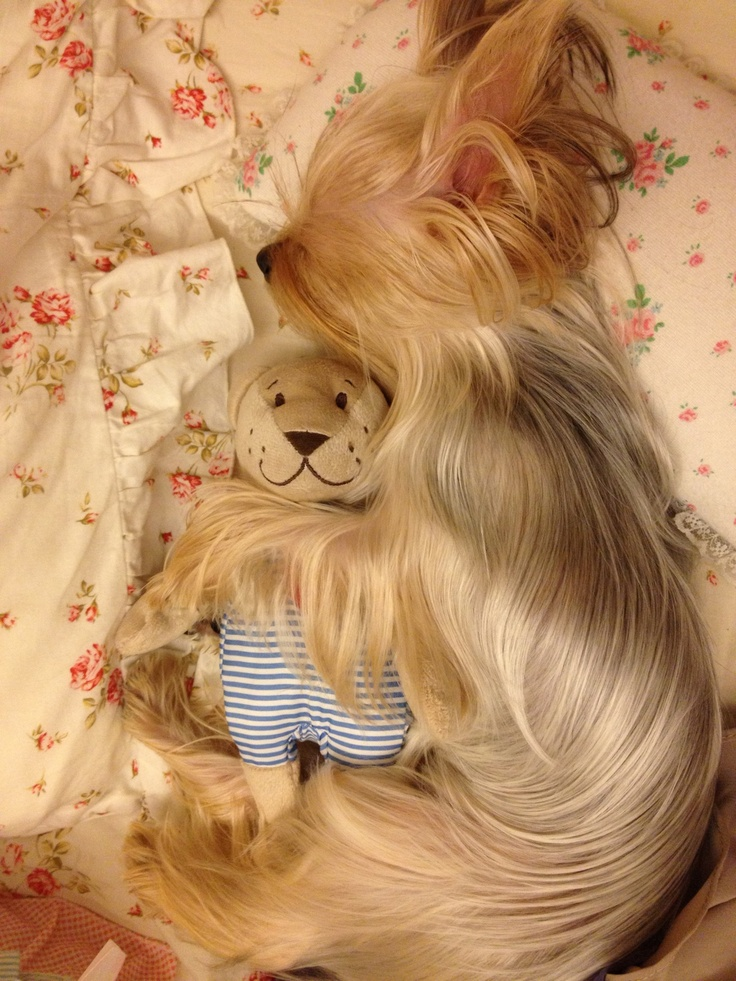 Asleep with her baby! #dogs #pets #YorkshireTerriers facebook.com/sodoggonefunny