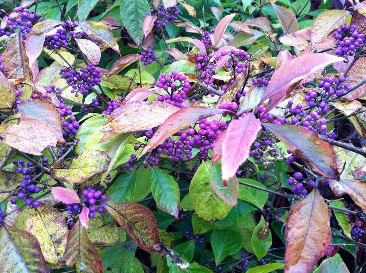 Stunning purple-violet berries on Callicarpa bodinieri var. giraldii 'Profusion' in front garden.