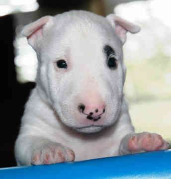 Bull terrier... look at how cute that face is