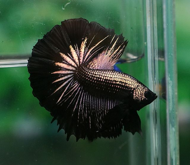 Black gold fancy bettas pinterest black dragon for Show betta fish