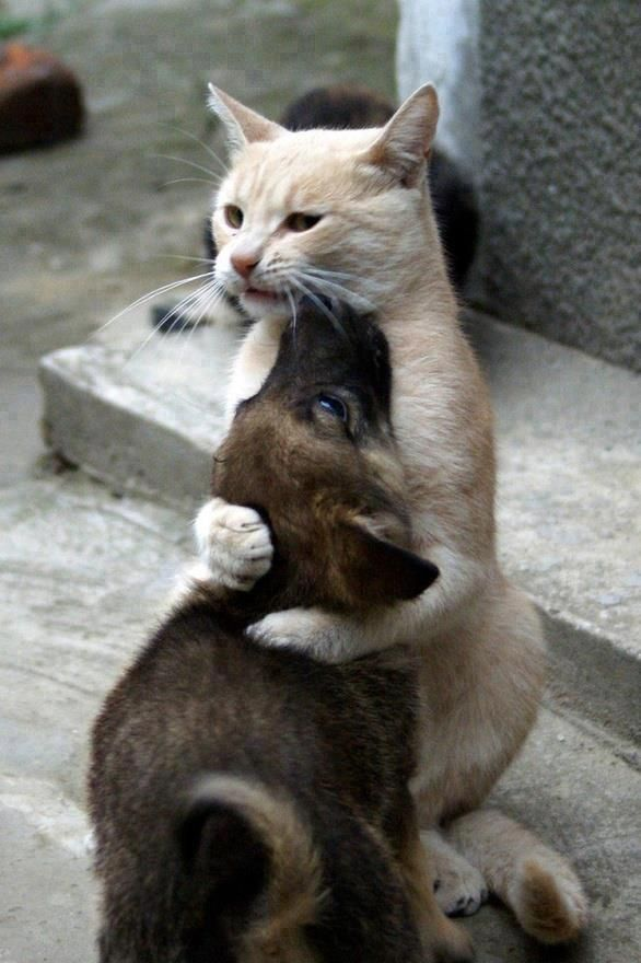 """Original comment said,""""Cat hugging a puppy!."""".....however, I believe it's more like, """"Cat strangling puppy!""""  Look at the cat's face.....it's like he's thinking, """"Just a little bit longer...."""""""