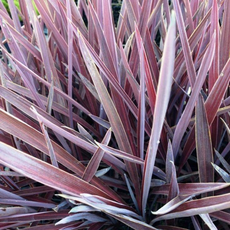 Cordyline australis Red Sensation