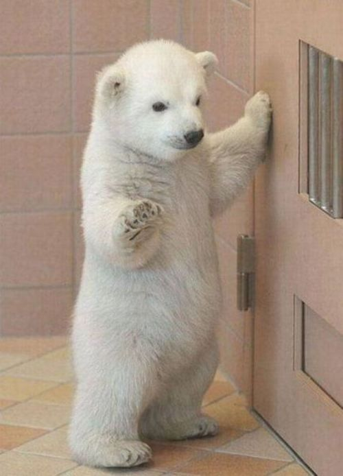 Baby Polar Bear.  Stop in the name of love...