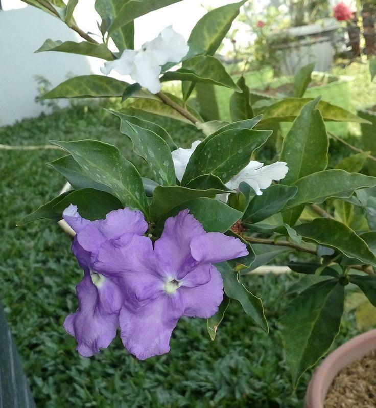 Melati kosta..sering disebut juga bunga yesterday,today n tomorrow karena warnanya bisa berubah dari ungu-ungu muda-putih..awal beli bunganya cuma dikit n lama berbunganya..setelah dirawat penuh cinta (uhuuukk��) akhirnya bunganya banyak n tiap hari ada aja bunga barunya���� #melatikosta #melaticosta #melati #jasmine #brunfelsia #brunfelsiauniflora #bunga #flower #flowers #tanaman #plant #plants #kebunku #mygarden #berkebun #gardening ����������…
