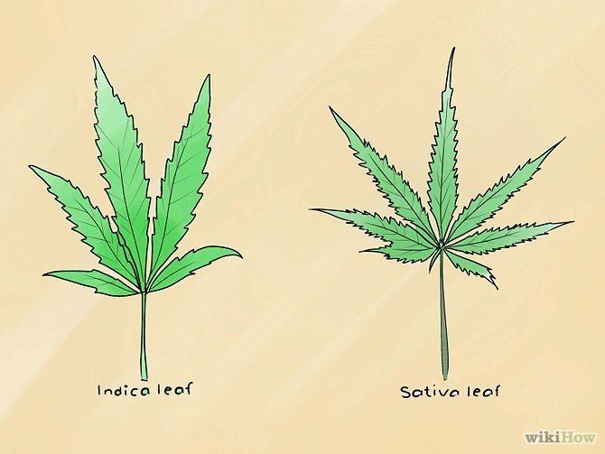 como plantar cannabis - Pesquisa Google