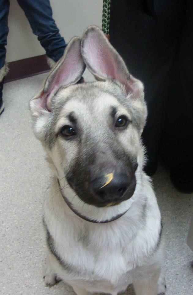 Ranger is a 16 week old German Shepherd.