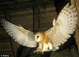 common barn owl attack - Google Search