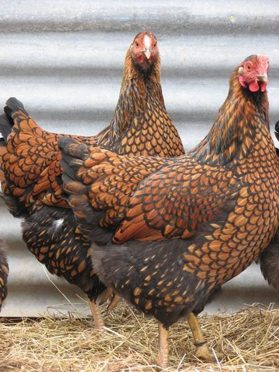 I have one of these Gold Laced Wyandottes- and she lays a JUMBO sized egg. Her name is Ruby and she is a character :-)
